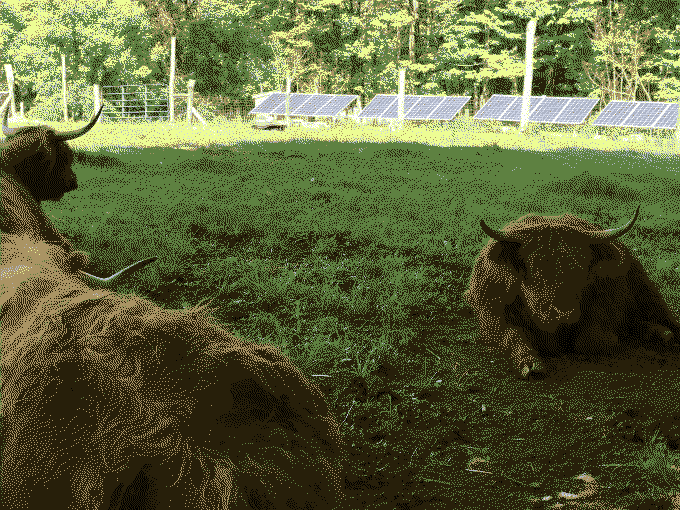 Shetland cattle in front of our yurt.